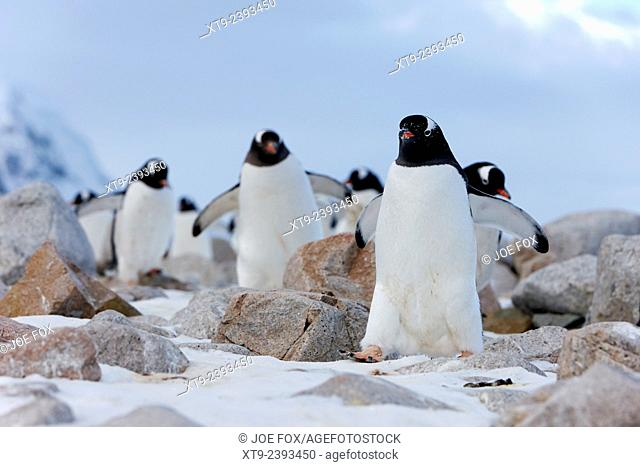 March of Gentoo penguins Pygoscelis papua at Neko Harbour continent of Antarctica