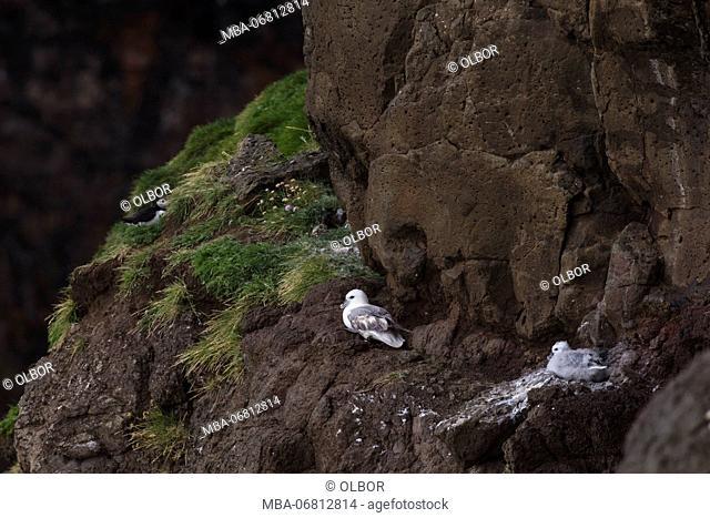 Fulmar, Fulmarus glacialis, chick