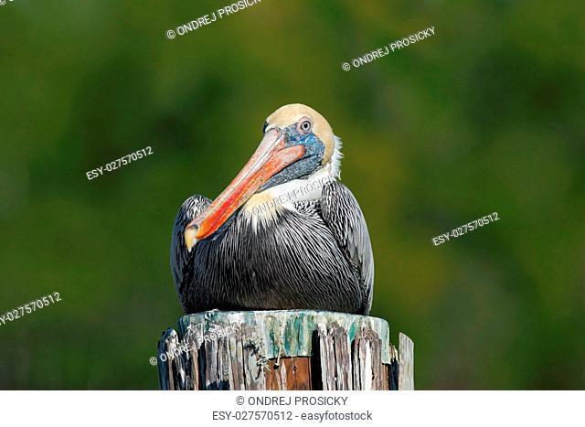 Brown Pelican, Pelecanus occidentalis, Florida, USA