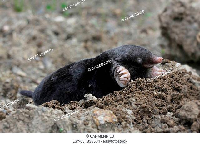 mole-close-up