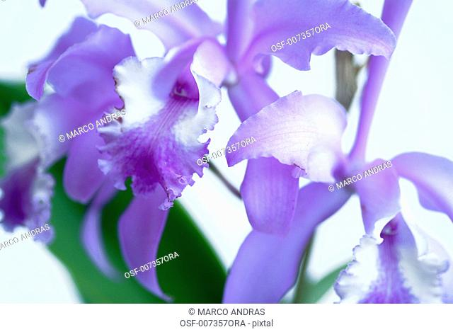 natural plants orchid flowers