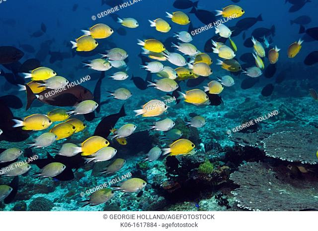 Mixed school of Philippines chromis Chromis scotochiloptera and Yellow chromisChromis cf analis  Moto Mount, Rinca, Indonesia