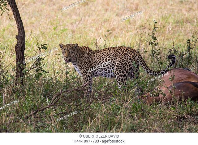 Africa, panthera pardus, travel, savanna, Serengeti, mammals, Tanzania, East Africa, animals, Topi, wilderness, wild animals