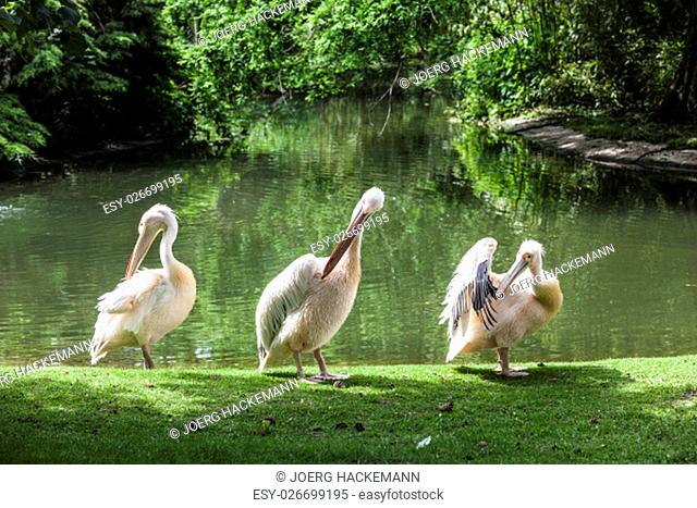 White Pelican (Pelecanus onocrotalus) also known as the Eastern White Pelican, Rosy Pelican or White Pelican is a bird in the pelican family