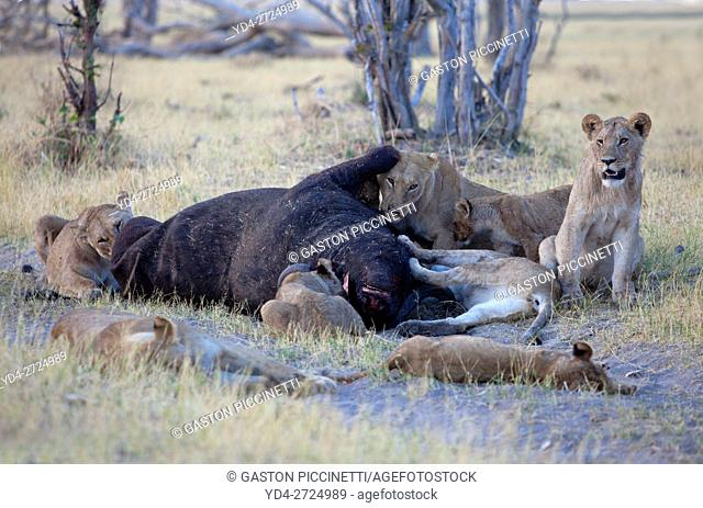 Group of Lions (Panthera leo) - eating a Cape Buffalo carcass (Syncerus caffer caffer) which was killed two nights before by the females of the pride