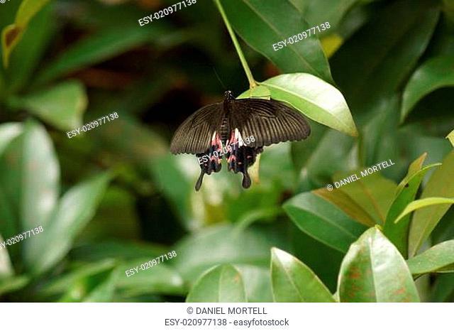 Common Mormon Butterfly - Papilo polytes