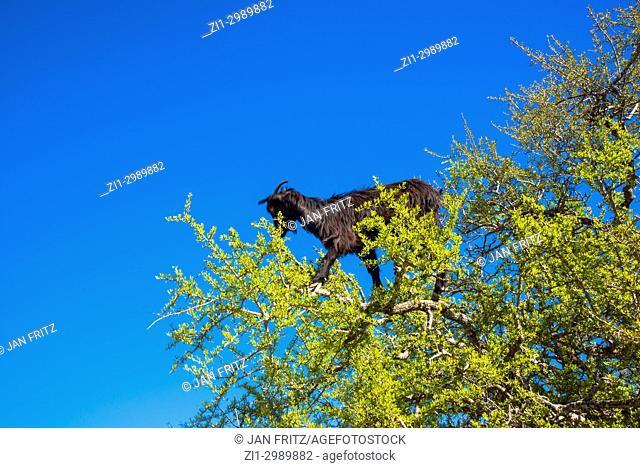 goat eating argannuts for famous arganoil in tree in Maroc