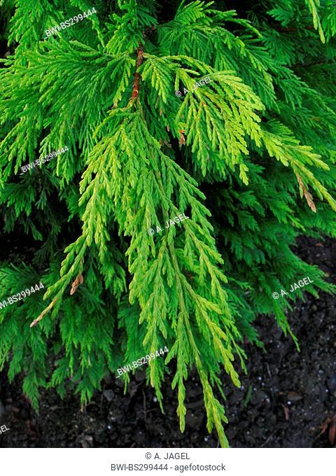 Leyland cypress (Cupressocyparis leylandii, X Cupressocyparis leylandii, Cupressus x leylandii, Cupressus x leylandii, Callitropsis x leylandii)