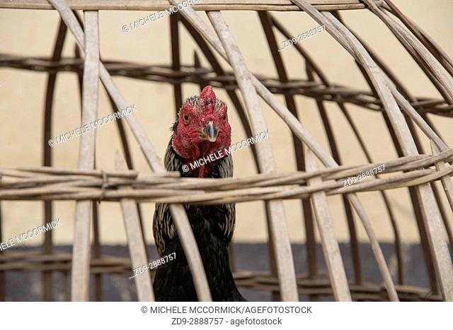 A rooster awaits a certain fate in a small village in Laos
