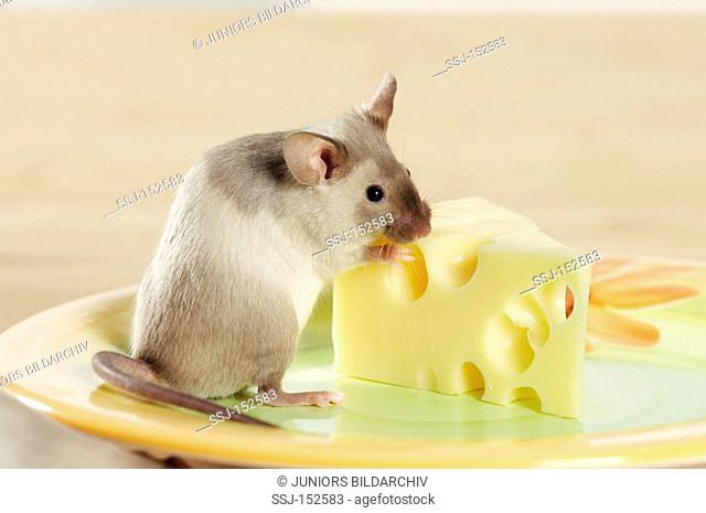 fancy mouse at cheese restrictions: animal guidebooks