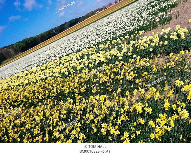Dutch tulip fields II