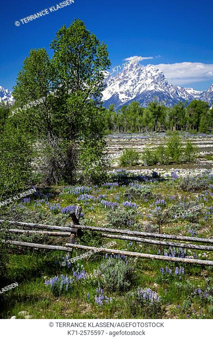 Flower meadows and mountains in the Grand Teton National Park, Wyoming, USA
