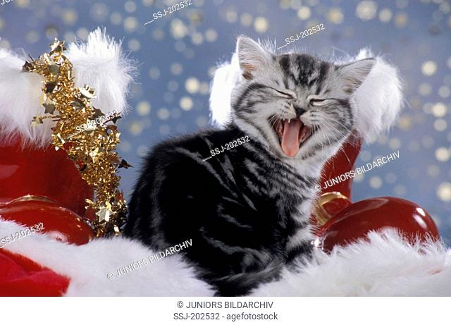 Norwegian Forest Cat. Kitten in Christmas decoration with Santa Claus boots. Germany