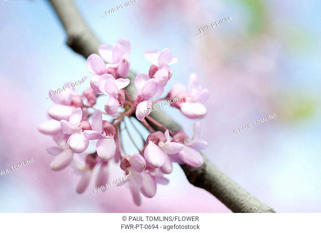 Cercis siliquastrum, Judas tree, Pink subject