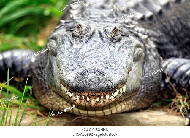 American Alligator,Alligator mississipiensis,USA,America,portrait smiling