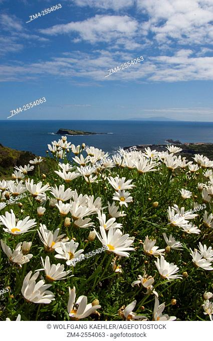Daisy flowers (Argyranthemum) along the shore near Santa Cruz on Graciosa Island in the Azores, Portugal