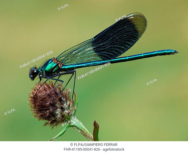 Banded Demoiselle Calopteryx splendens adult male, resting on knapweed, Leicestershire, England, august