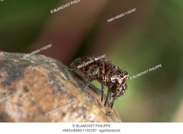 France, Araneae, Oxyopidae, Lynx spider (Oxyopes heterophthalmus)
