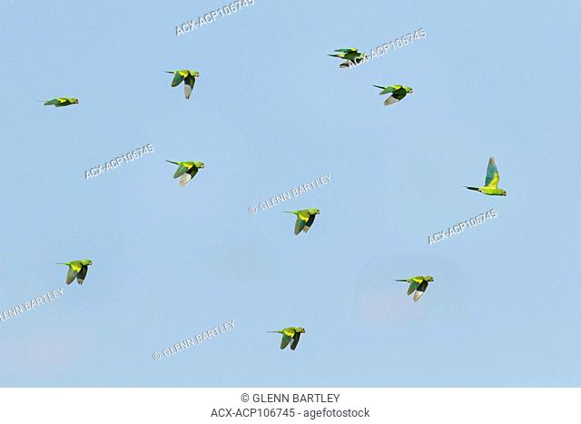 Yellow-chevroned Parakeet (Brotogeris chiriri) flying in the Pantanal region of Brazil
