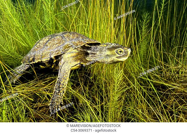 Freshwater Rivers. Mediterranean pond turtle, Maurish turtle, Spanish pond turtle (Mauremys leprosa). Avia river. Pontevedra. Galicia. Spain. Europe
