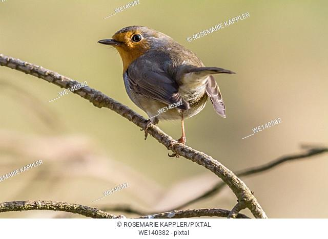 Germany, Saarland, Bexbach, A robin redbreast is searching for fodder