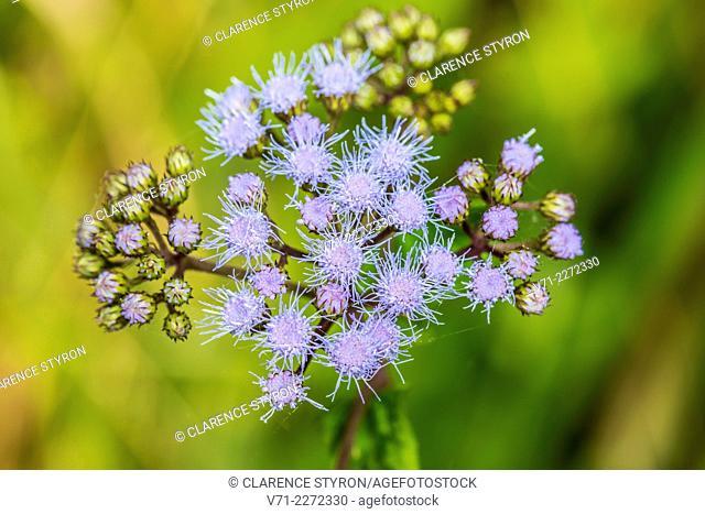 Ageratum Eupatorium coelestinum Flowers