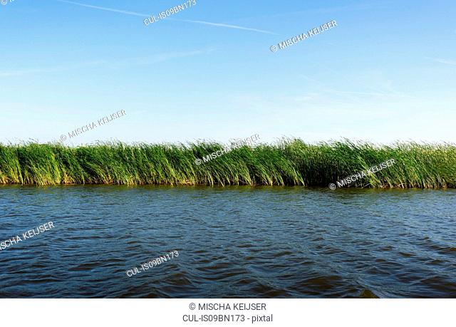Reed growing along banks of lake, Friesland, Netherlands