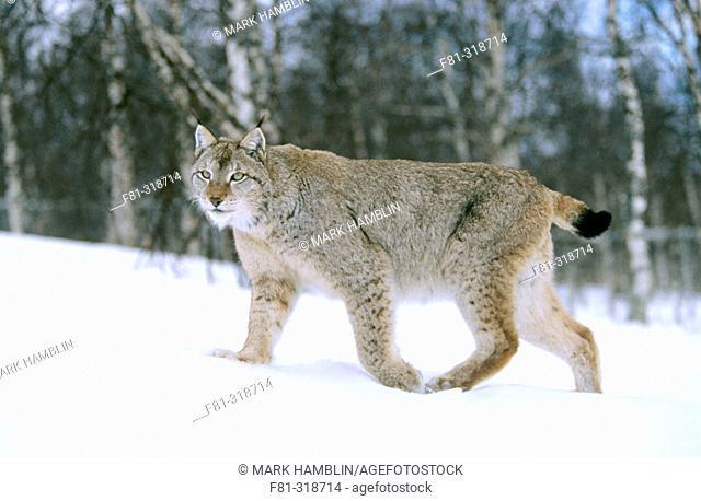 European lynx (Felis Lynx). Male Walking across snow. Norway