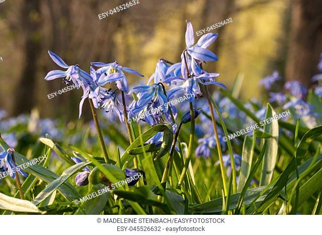 Blue Siberian squill flowers blooming in spring, with trees in the background