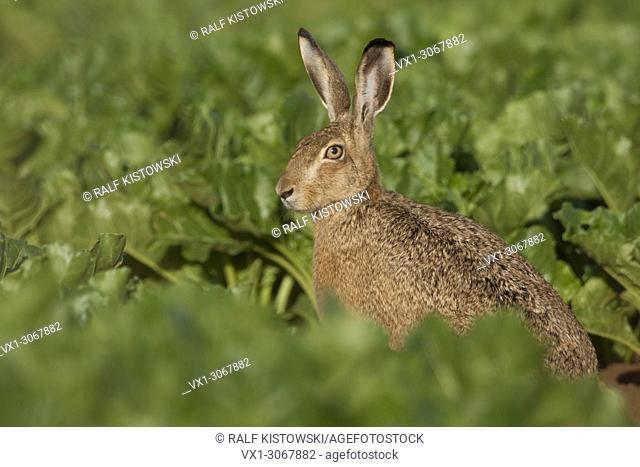 Brown Hare / European Hare / Hare ( Lepus europaeus ) sitting in beet field, wildlife, Europe