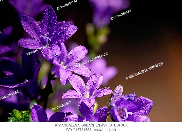 Campanula flower and spring dew drops