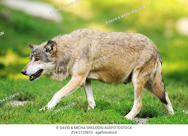 Eastern wolf (Canis lupus lycaon) walking on a meadow, Germany, Europe