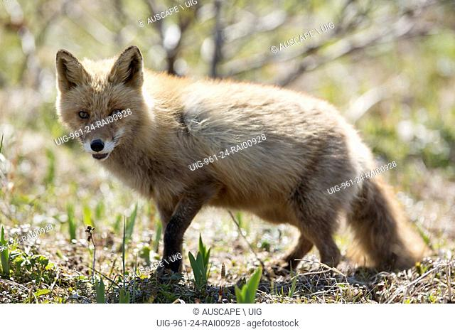 Kuril Island fox, Vulpes vulpes splendidissima, large and strongly colored subspecies of Red fox. Kuril Islands, Russian Federation