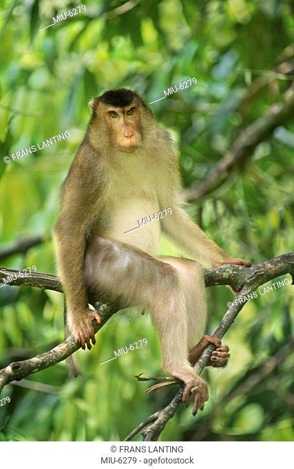 Pig-tailed macaque male, Macaca nemestrina, Bako National Park, Borneo