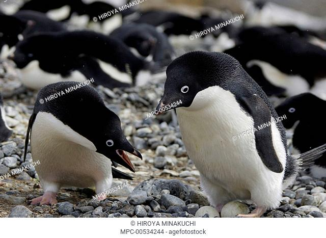 Adelie Penguin (Pygoscelis adeliae) trading incubation duties with mate, South Georgia. Sequence 8 of 10