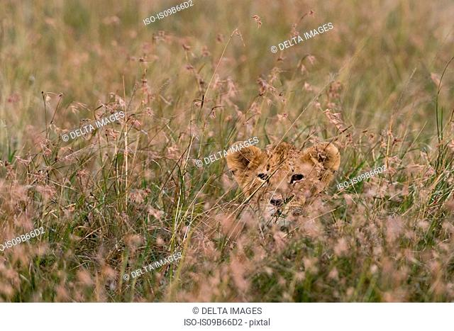 A lion cub (Panthera leo), waiting for its mother and hiding in tall grass, Masai Mara, Kenya, Africa