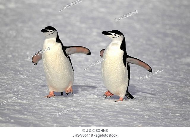Chinstrap Penguin, (Pygoscelis antarctica), Antarctica, Brown Bluff, adult couple walking in snow