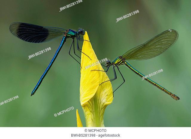 banded blackwings, banded agrion, banded demoiselle Calopteryx splendens, Agrion splendens, male and female on yellow iris flower, Germany