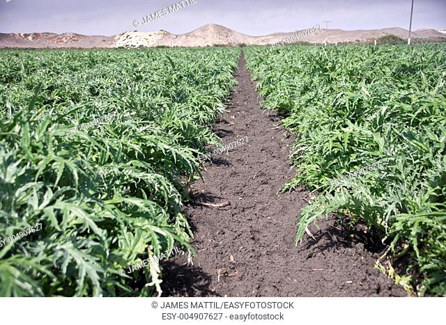 Rows of throny thistles produce artichokes beside the Pacific coast dunes in Castroville California