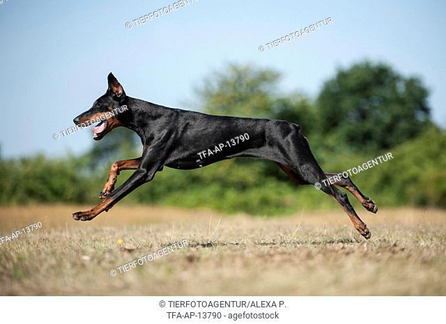 running Doberman Pinscher