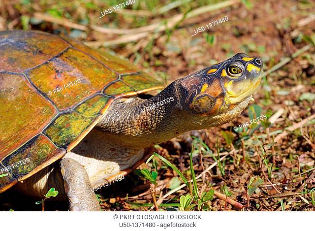 Amazonian turtle  Podocnemis sp , Pelomedusidae, Chelonia, Reptilia bracajá, tracajá, Rio Branco, Acre, Brazil, 2010  75 cm de comprimento