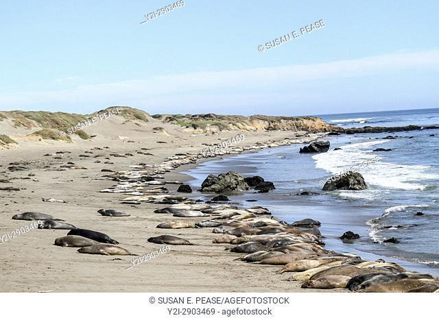 Seals resting at Piedras Blancas Elephant Seal Rookery, San Simeon, San Luis Obispo County, California, United States, North America