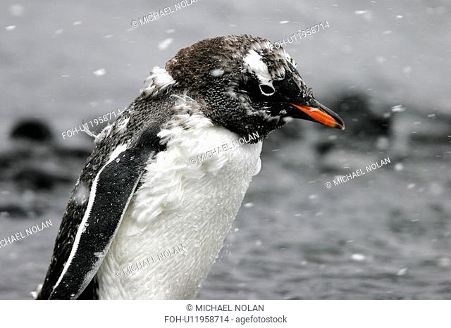 Gentoo Penguin Pygoscelis Papua chick fledging in snow flurries in Antarctica