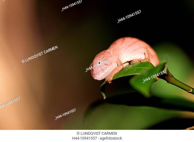 animal, reptile, chameleon, parson's chameleon, side view, juvenile, Perinet, nature reserve, Andasibe, Rainforest, Madagascar, Africa, island, nature, macro