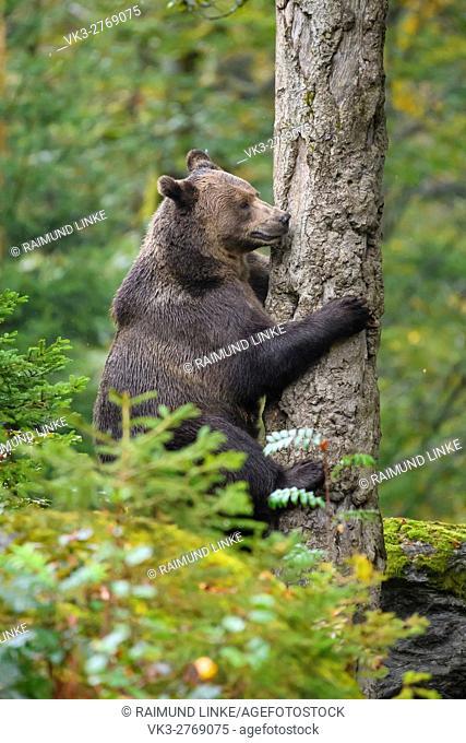 Brown Bear, Ursus arctos, Sitting in the tree, Bavaria, Germany