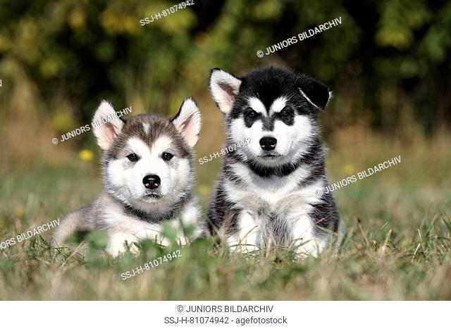 Alaskan Malamute. Two puppies (6 weeks old) sitting and lying on a meadow. Germany