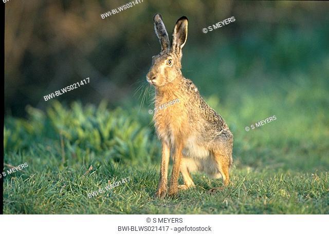 European hare Lepus europaeus, sitting on meadow, Austria, Burgenland, Neusiedler See, April 03