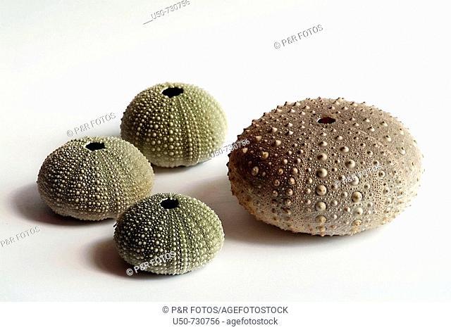 Sea urchin test, equinoderm, Echinodermata, 2007