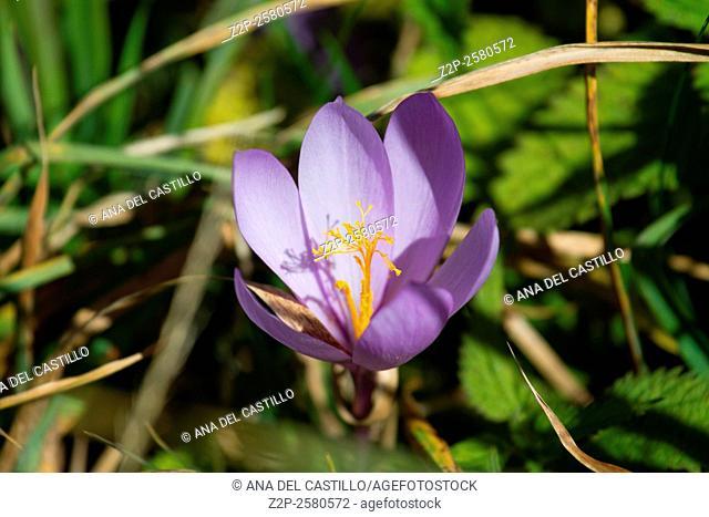 Colchium autumnale purple flower Pyrenees mountains Spain