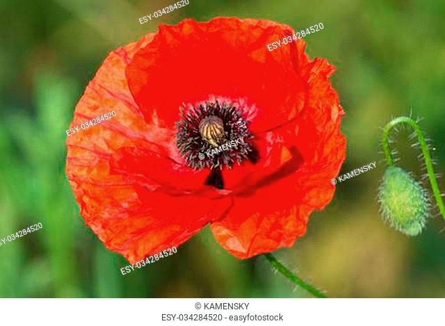 Red poppy flower close up